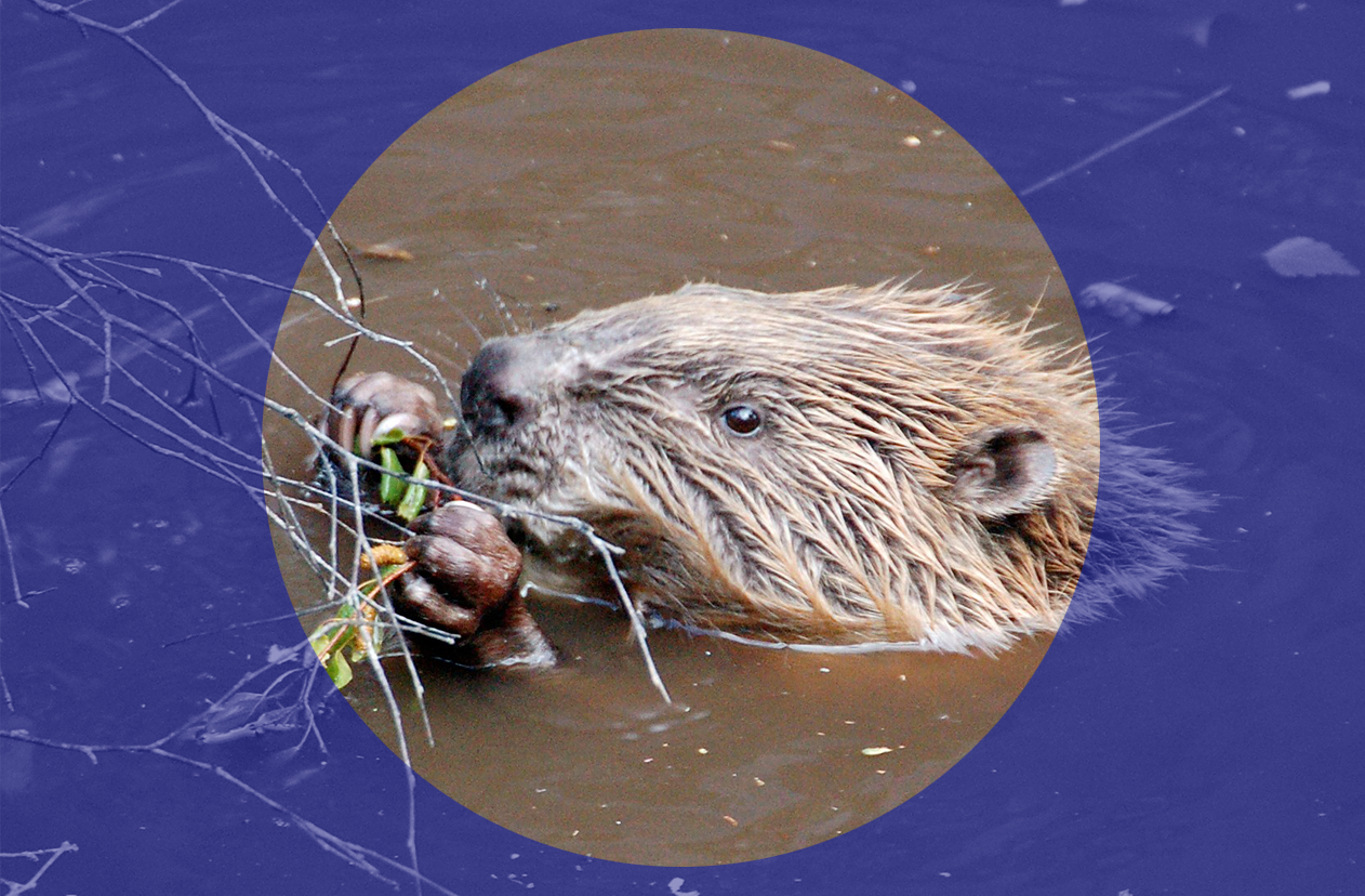Dam nation: A Scottish beaver speaks out